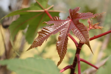 Leaves of castor bean photo