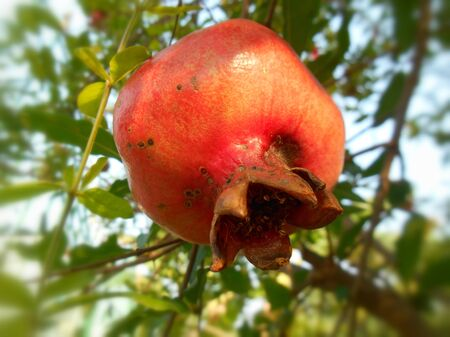 clse: Clse up of pomegranate fruit on the tree
