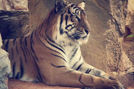 Close up of bengal tiger