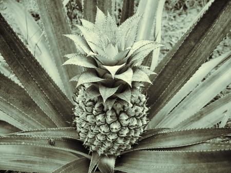 pineapple tree: Primer plano de �rbol de la pi�a