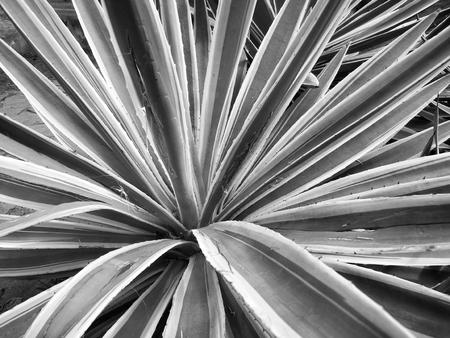 fort dauphin: Sisal tree