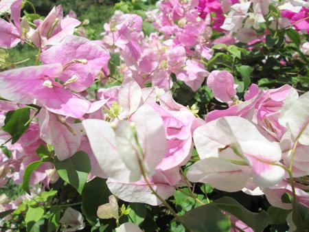 bougainvillea flowers: Bougainvillea flowers - Pink flowers  Stock Photo