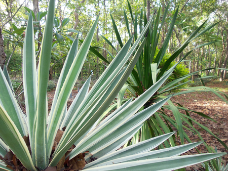 fort dauphin: Sisal tree