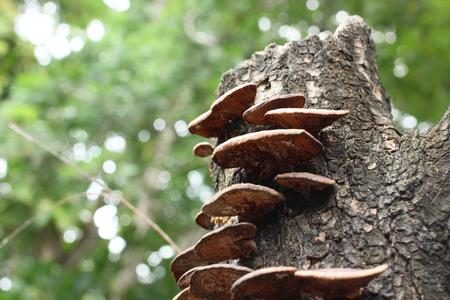 Ganoderma Lucidum - Ling Zhi Mushroom.
