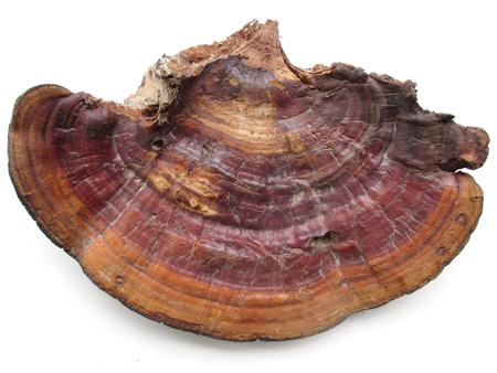 mycelium: Ganoderma Lucidum - Ling Zhi Mushroom.