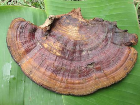 Ganoderma Lucidum - Ling Zhi Mushroom. photo