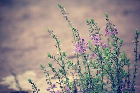 purple salvia flowers photo