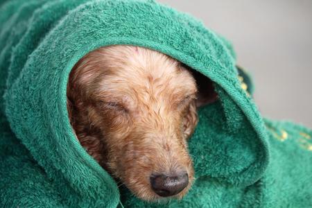toweling: Dog after bath