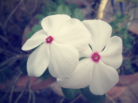 petunias: petunias flower
