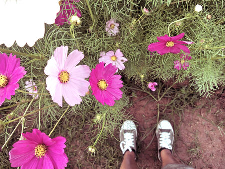 field of pink cosmos flower with sneakers photo
