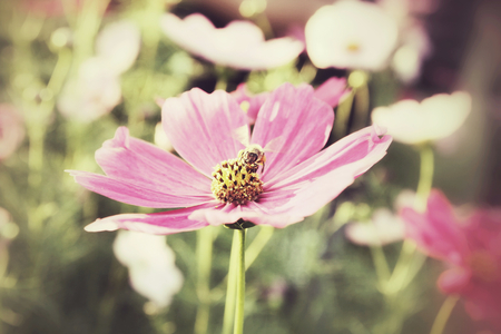 Field of pink cosmos flowers with bee photo