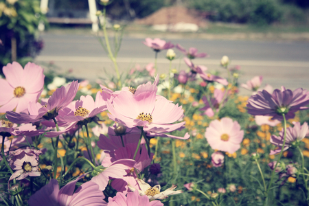 Field of pink cosmos flowers photo