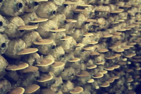 lucidum: Blurred of ganoderma lucidum - ling zhi mushroom.