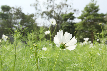 Field of white cosmos flowers stock photo picture and royalty free field of white cosmos flowers stock photo 34787873 mightylinksfo