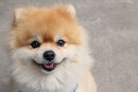 Pomeranian dog Standard-Bild