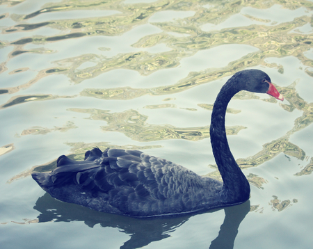 soulful: Swimming a black swan.