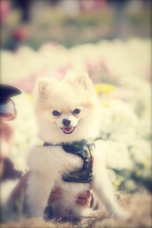 pomeranian: Pomeranian dog Stock Photo