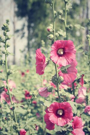 hollyhock: Hollyhock flowers Stock Photo