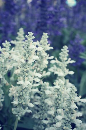 white salvia: Purple and white salvia flowers