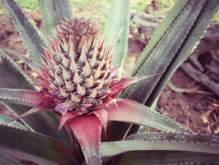 pineapple tree: �rbol de pi�a