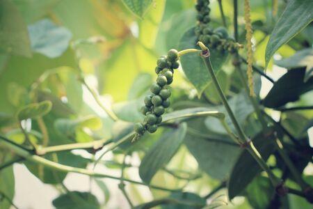 peper: Fresh green peper on tree