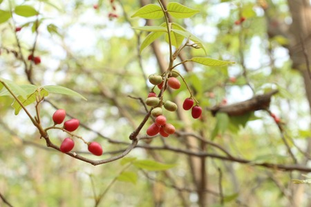 miracle leaf: Miracle fruit tree Stock Photo