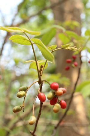 miracle tree: Miracle fruit tree Stock Photo