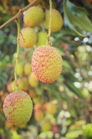 litschi: Lychee on tree