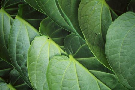 betel: Betel leaf background Stock Photo