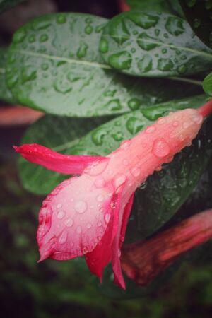 obesum balf adenium: Water drop on flower