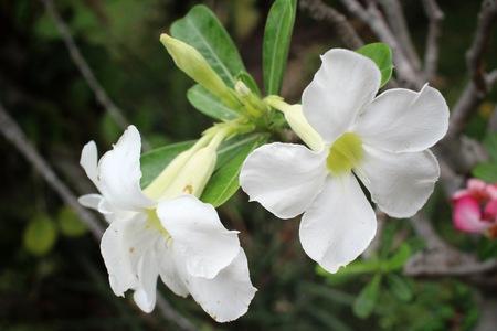 adenium obesum balf: Vintage impala lily flower