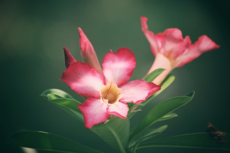 obesum balf adenium: Vintage impala lily flower