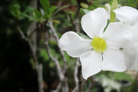 obesum: Vintage impala lily flower