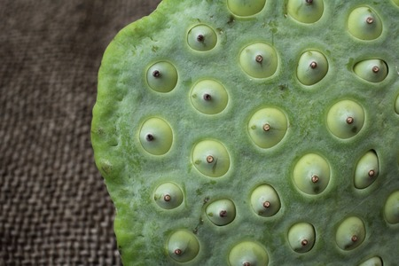 seedpod: Lotus seeds Stock Photo
