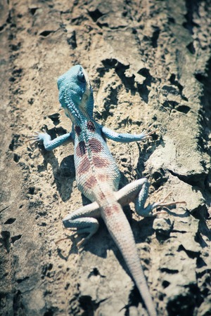 species of creeper: Bule thai lizard on tree Stock Photo