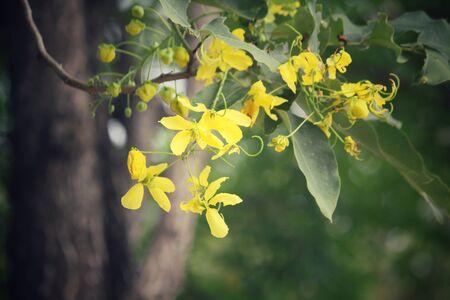 golden: Golden shower tree