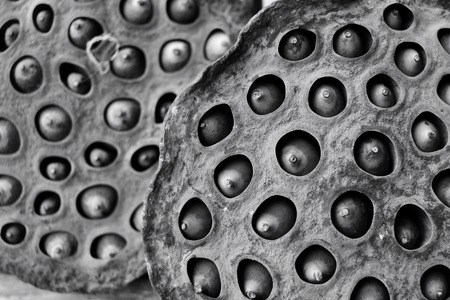 lotus seeds: dried lotus seeds