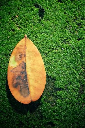 dried leaf: Dried leaf on grass moss