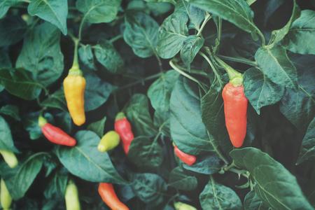 bush pepper: Chilli tree