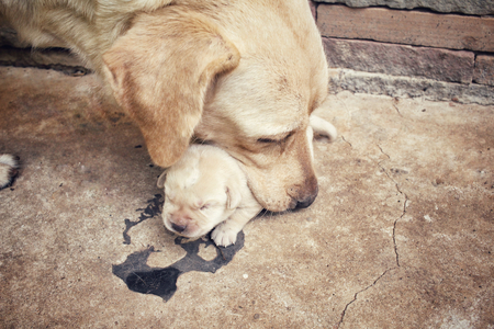 golden retriever puppy: Mom and labrador puppies
