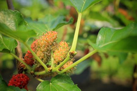 blackberry bush: Mulberry on tree