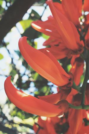 jade plant: Newguinea Creeper - orange flowers
