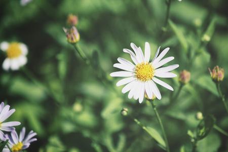camomile: camomile flowers