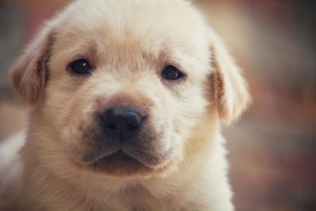 Chiot Labrador chien Banque d'images - 46857837