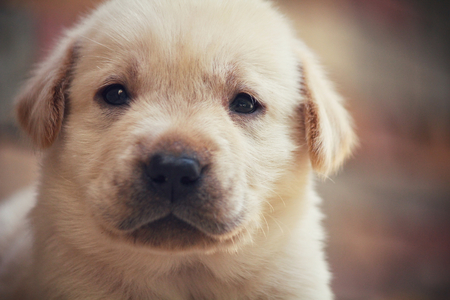 Labrador-Hündchen Standard-Bild