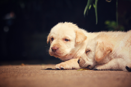 Labrador puppy dog
