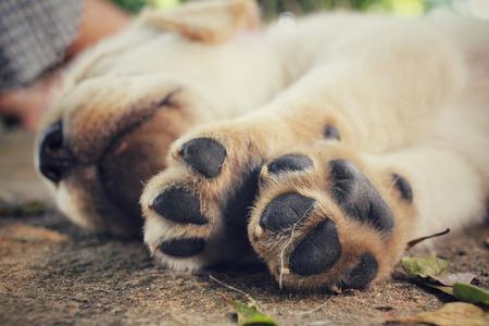 labrador retriever: Feet of labrador puppy dog Stock Photo