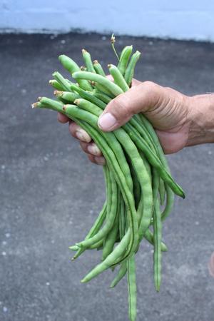 long bean: Long green bean on hand Stock Photo
