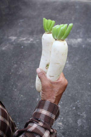 radishes: Daikon radishes on hands