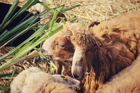 defiant: Sheep